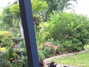 WATCH: Kangaroo drinks from bird bath in backyard