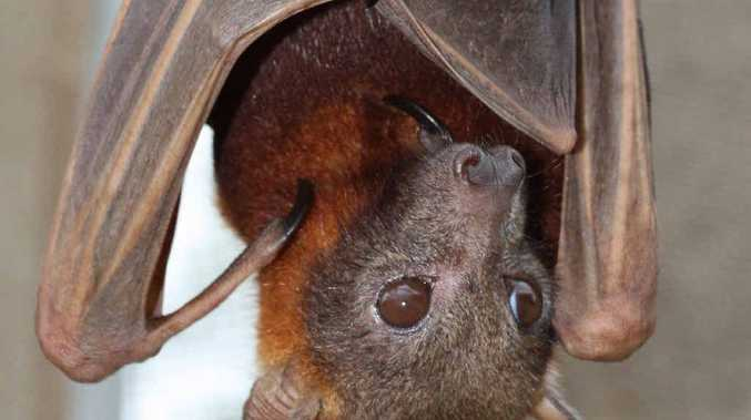 BRIEF VISIT: Little red flying foxes are on the Coast.