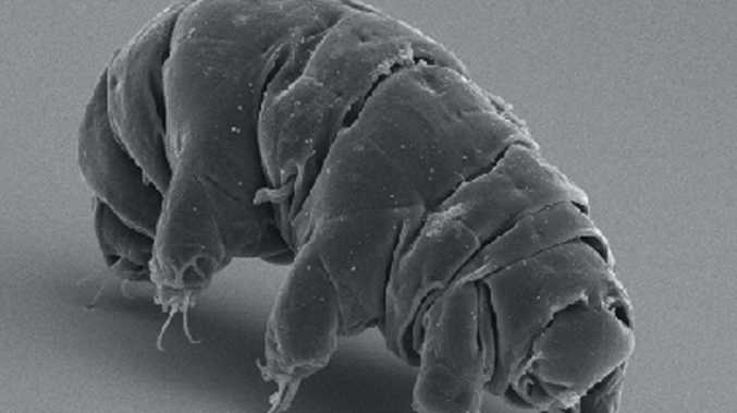 Tardigrades are also known as 'water bears' or 'moss piglets'
