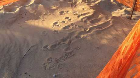 The turtle nest at Tannum Sands was disturbed by a dog overnight - but the eggs are still ok and are yet to hatch. Photo Tegan Annett / The Observer