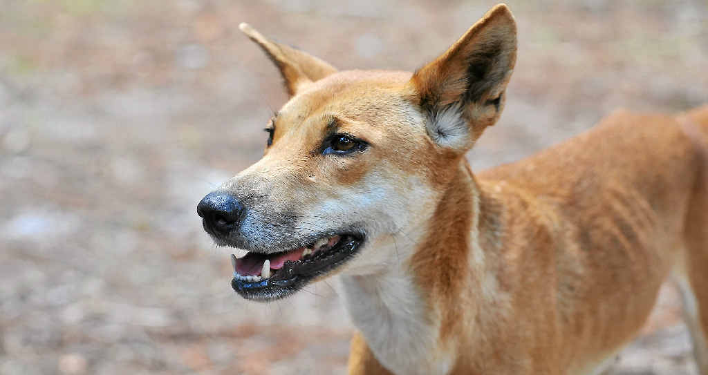 LET THEM EAT: Fraser Island's dingoes need to be fed, says one reader.