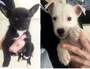 Man accused of dumping six puppies on rural Qld road
