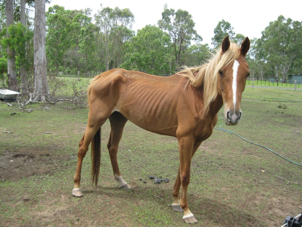 POOR CONDITION: Aphrodite was noticeable thin when the RSPCA visited June Wogandt's property