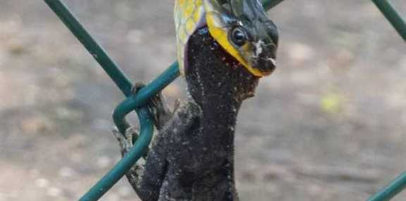 LUNCH: A green tree snake chows down on an eastern water dragon at Alexandra Park Zoo.