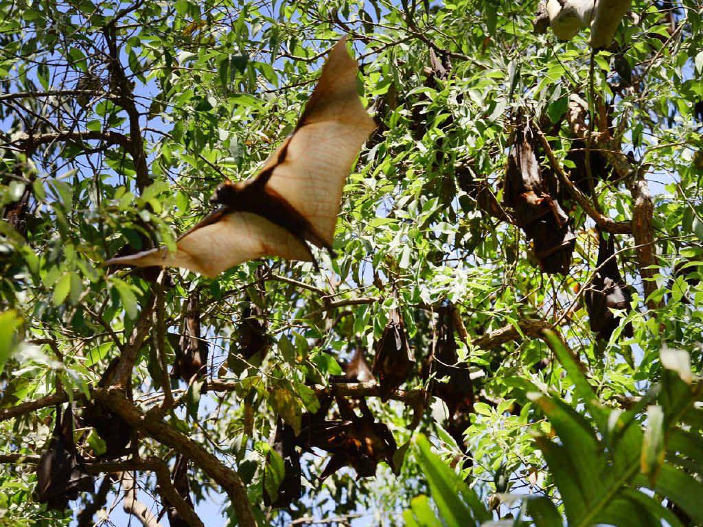 PLAGUE: Flying fox colonies at Yamanto and Camira reach menacing numbers.