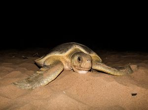 World's oldest turtle travels from Bundy to Mackay