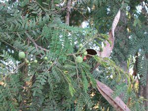 Small tree has become a massive pest in Australia