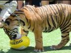 Tiger swipes Australia Zoo handler while on routine walk