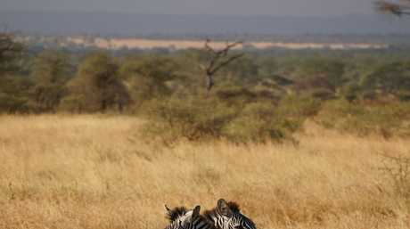 Zebras on the lookout for danger in the Serengeti in Tanzania in East Africa. Photo: Rae Wilson