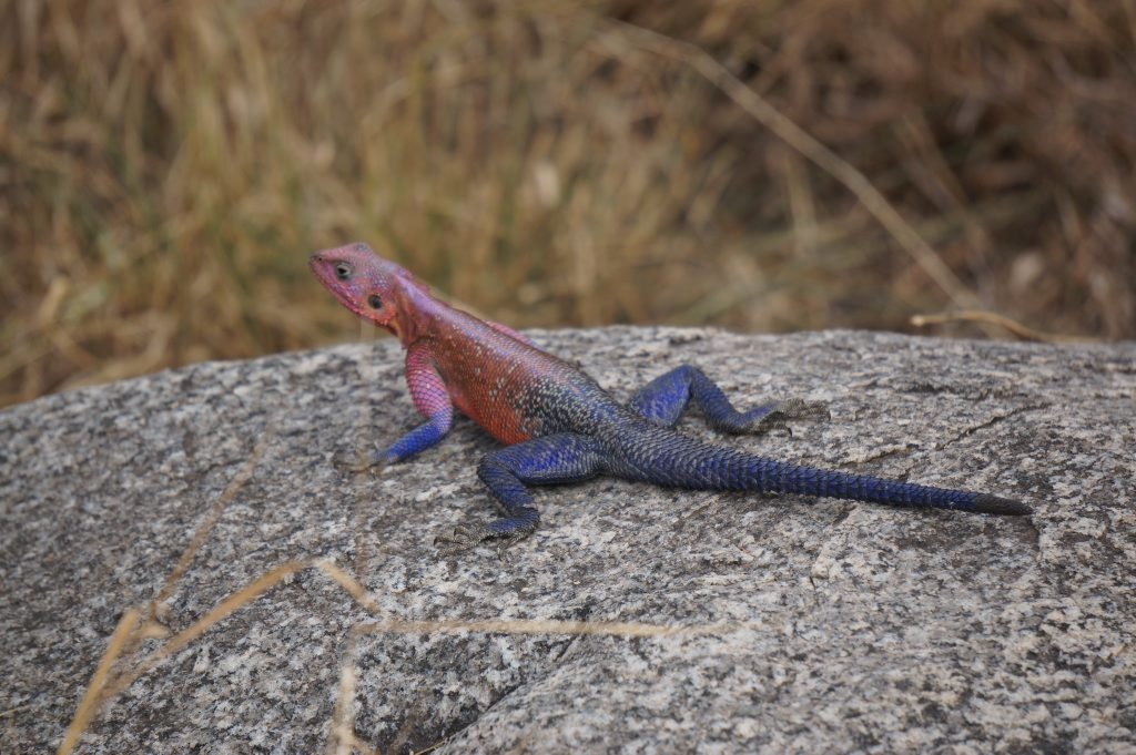 QLD271115ANIMALS19: Agama lizard in the Serengeti in Tanzania in East Africa. Photo: Rae Wilson