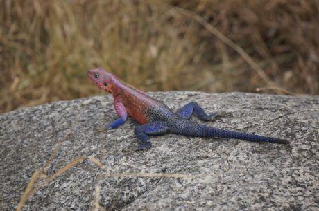 Agama lizard in the Serengeti in Tanzania in East Africa. Photo: Rae Wilson