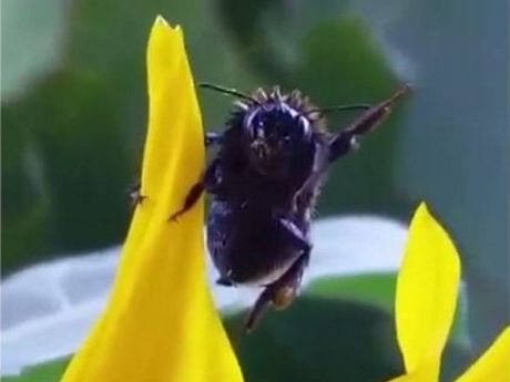 The bumble bee salutes his saviour.