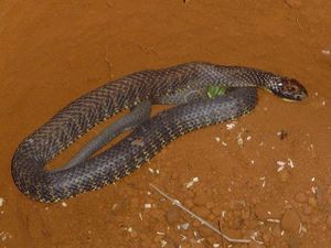 Tiger snake high wire act
