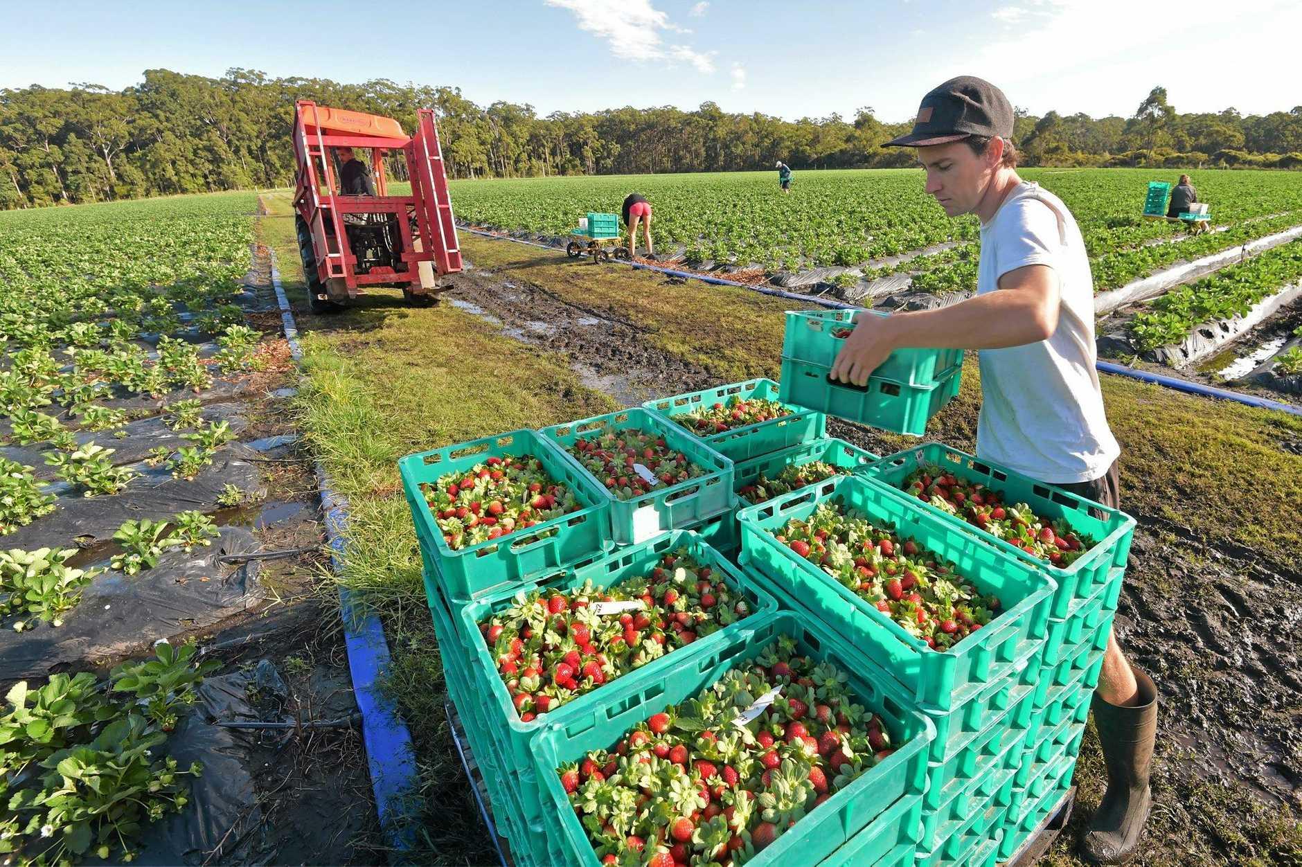 Seasonal workers in shortage on the Coffs Coast