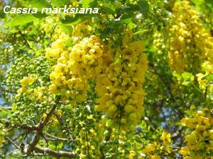 Cassia Marksiana