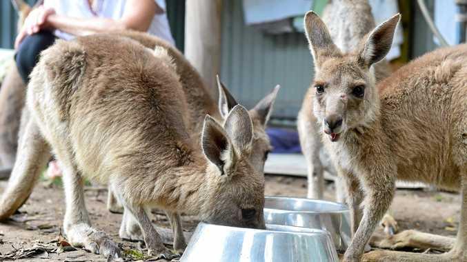 Kangaroos.