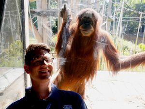 Australian orangutans given touch-free technology