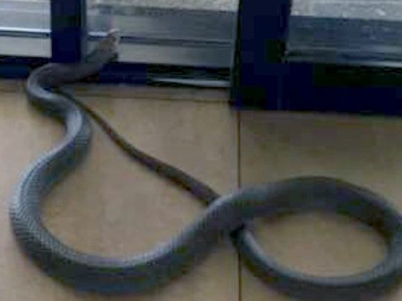 This is the snake that surprised diners in Mackay.