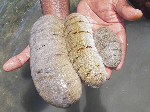 HIGH DEMAND: A $1.7 million grant will help Pacific Islanders farm sea cucumbers to the south-east Asia market, potentially improving their livelihoods.