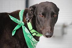 Queenslanders urged to adopt a greyhound in 2016