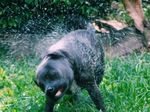 Levi shaking off after having a play with the garden hose.