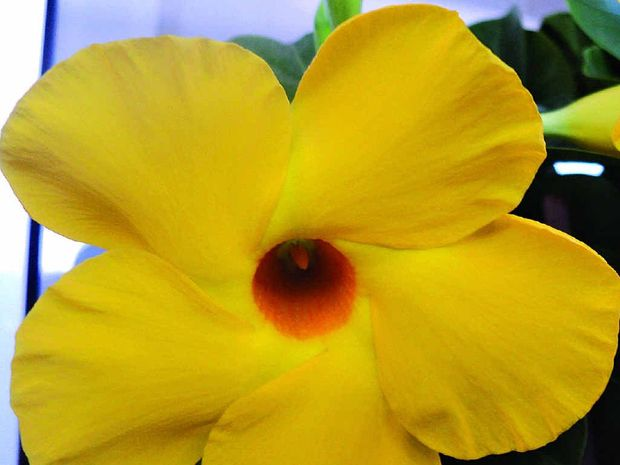 nature's beautiful trumpet growing tropical allamandas  sunshine, Beautiful flower