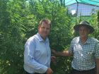 MEMBER for Burnett Stephen Bennett chats about the potential of exporting hemp.