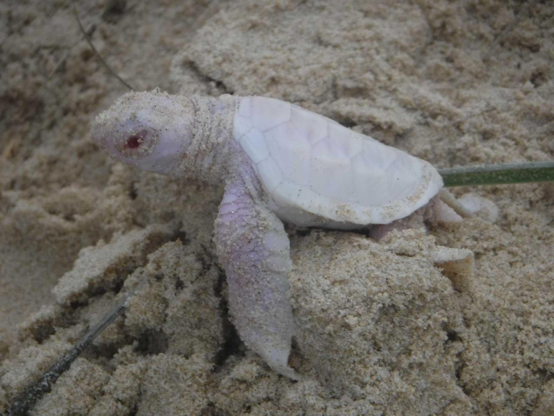 A rare albino turtle found on the Sunshine Coast. Photo: Adrienne Savage via Facebook