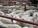 More than 2000 lambs, sheep yarded at Warwick sale