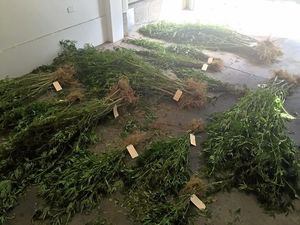 More than $300,000 of marijuana found at Jackass Creek