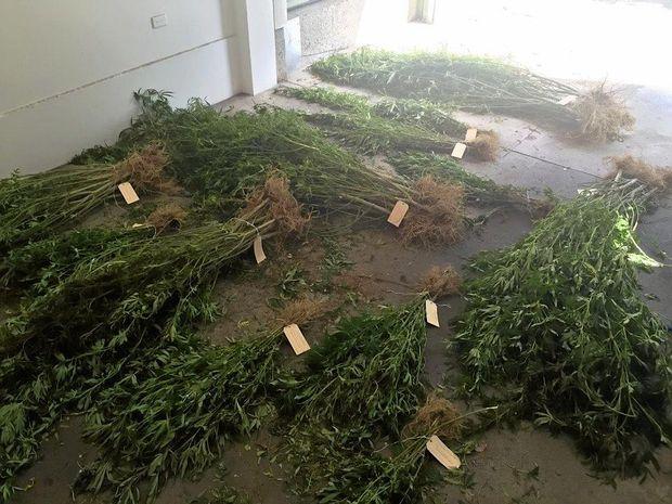 The seized cannabis plants at Dalmorton.
