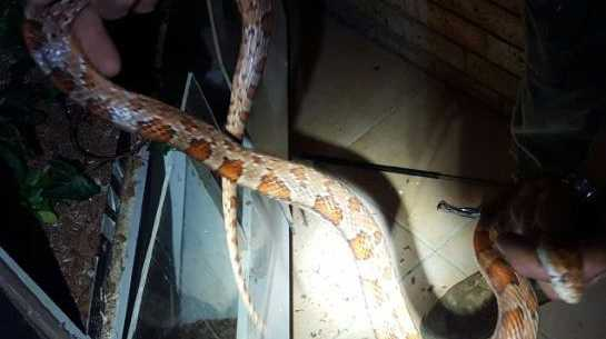 One of the four snakes found in the Helensvale residence.