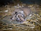 Australia Zoo welcomes a litter of Sumatran tiger cubs.