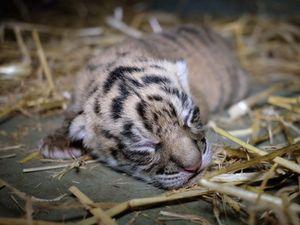 Tiger cubs born at Australia Zoo