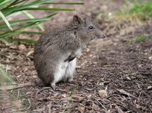 Fauna watch on the look-out for rare potoroo