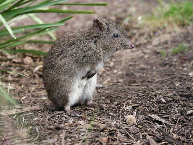 The long-nosed potoroo.