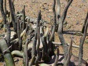 Mangroves get an unfair reputation