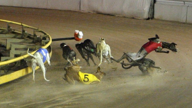 A bone-breaking crash, all too common in greyhound racing. Photo: Source: Queensland Greyhound Racing Industry Commission of Inquiry (MacSporran report, 2015)