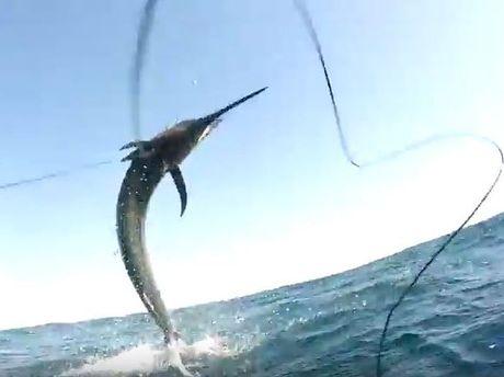 Spear fishers reel in 40kg marlin.