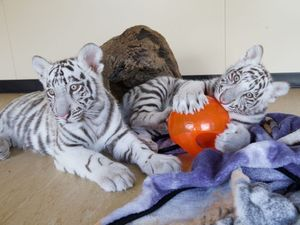 White tiger cubs get their first taste of fame