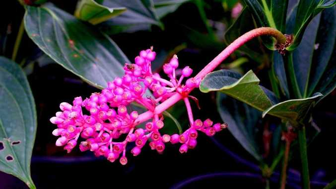 Medinillas are grown for their spectacular cascading clusters of pink flowers.