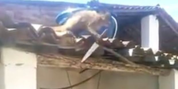 Video footage shows the monkey on a roof with a knife, indiscriminately stabbing at shingles.