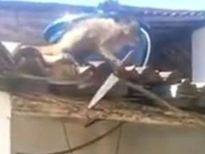 Knife-wielding monkey terrorises Brazilian bar