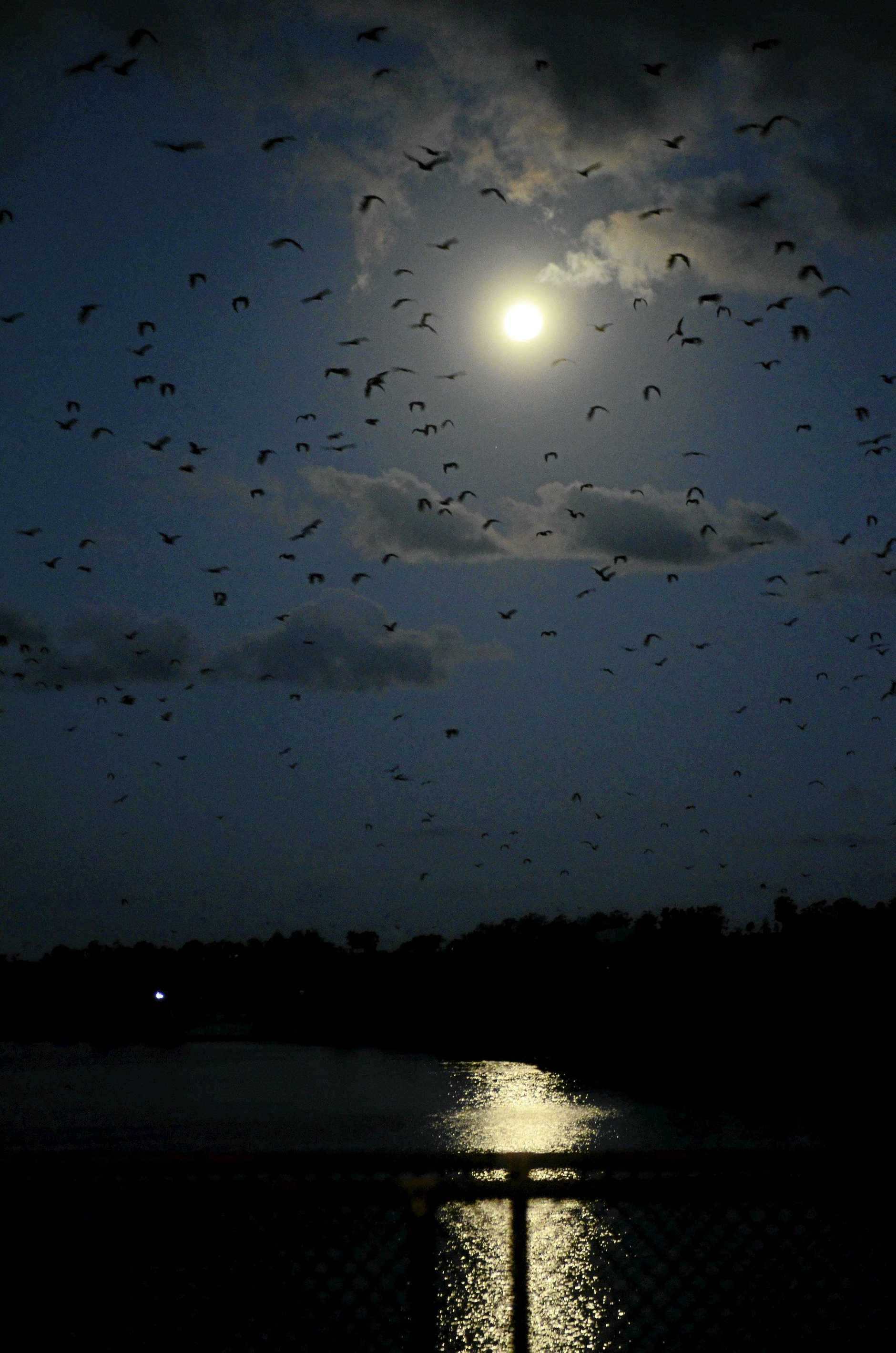This summer Susan Island on the Clarence River has been home to more than 100,000 flying foxes, which blanket the skies above South Grafton at dusk every evening. These series was taken from Grafton Bridge on the full moon night of Monday, 22nd of February, 2016.Photo Bill North / Daily Examiner