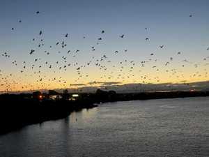 100,000 bats fill Grafton skyline at dusk