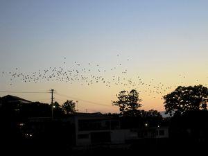 Bats flying over Susan Island