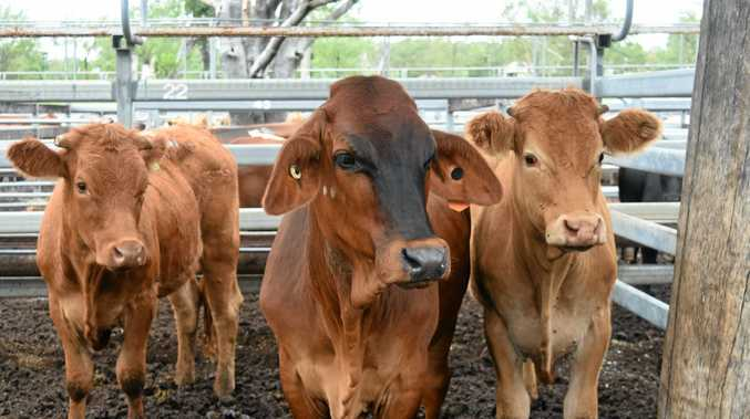 About 1200 young cattle were sold at Casino on Wednesday, including a good number of medium-weight vealers, a fair few light and heavy veal, and a few less yearlings week-on-week.