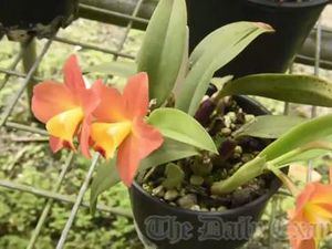 Maclean Orchid Society