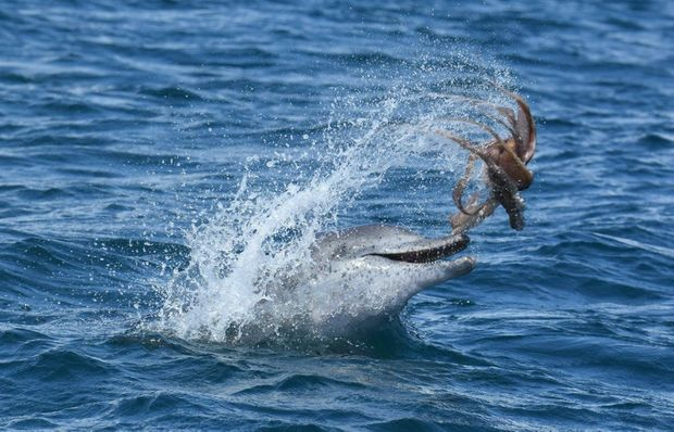 A photo obtained Friday, Feb. 26, 2016 of a dolphin flicking an octopus into the air in Mandurah, Western Australia, Sunday, Feb 21, 2016. The pictures, taken by PHD candidate Krista Nicholson, said the dolphins can occasionally being found doing an ?octopus toss?. (AAP Image/Krista Nicholson) NO ARCHIVING, EDITORIAL USE ONLY