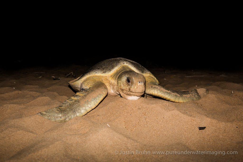 World's oldest tagged flatback turtle.